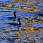 Cormorani sull'Adige all'alba