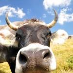 Mucca in val Sarentino